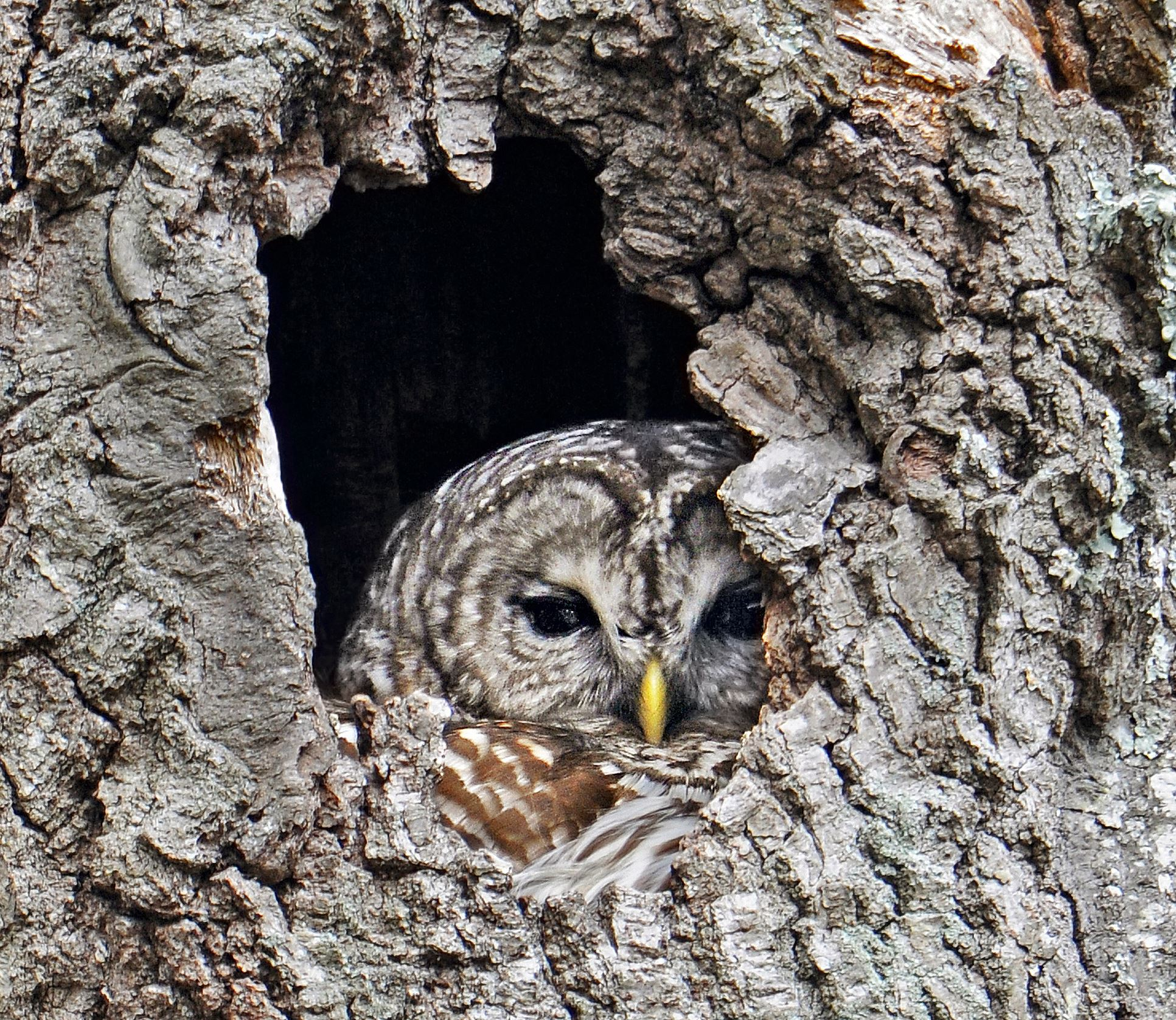 Barred Owl peeking from cavity, Photo © Mark Wilson / Eyes On Owls